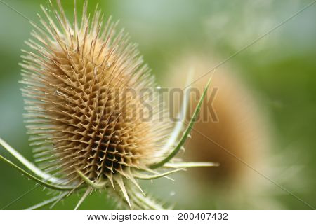 Dry thistle/ Dry thistle at the end summer.