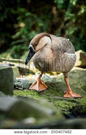 Female of swan goose (Anser cygnoides) on stane near lake