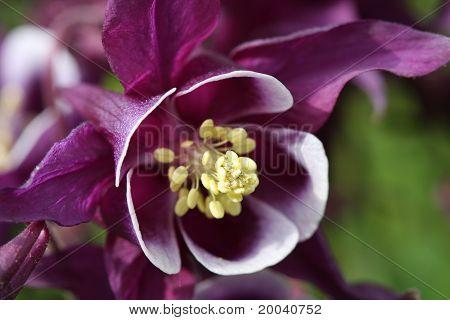 Purple Columbine Flower