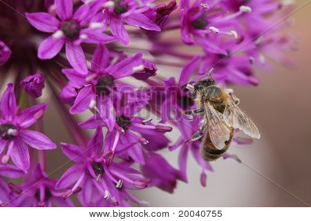 Bee On An Allium Flower