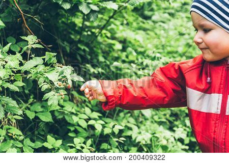 A little boy pulls raspberries off a bush, close up