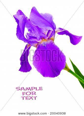 Flower Iris On White Background.