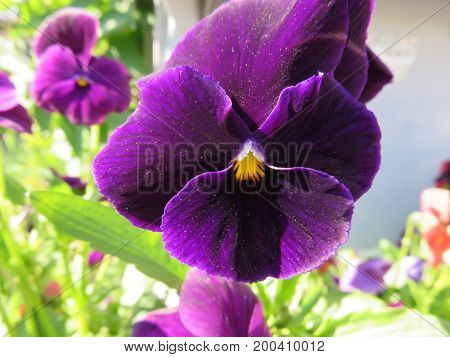 Pansy are flowers with a few petals larger than the other but with very intense colors