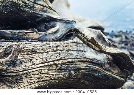 Picturesque wood texture. The old snag. Roots.