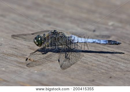 black tailed skimmer resting on wood plate