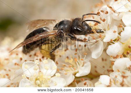 Mining Bee On Pyracantha