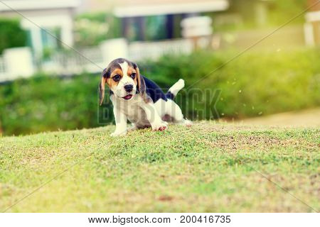 Cute young Beagle playing alone in garden