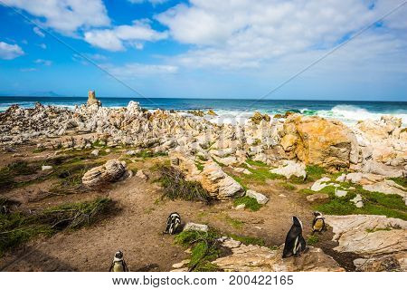The concept of ecotourism. Atlantic Ocean. African penguins among coastal stones. Boulders Penguin Colony in the Table Mountain National Park, South Africa