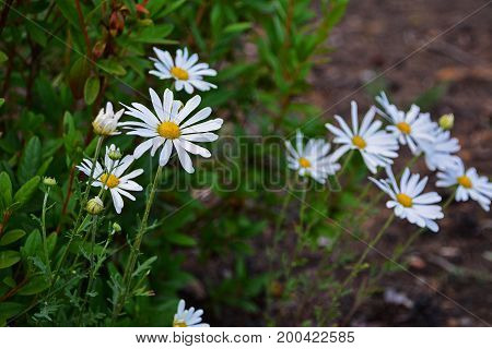 Early summer Flowers. Field daisy flowers. Field of daisy flowers, selective focus