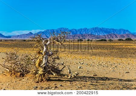Exotic dry plant by the road. The far mountains of the Namib Desert. Namibia, South Africa. The concept of extreme and exotic tourism