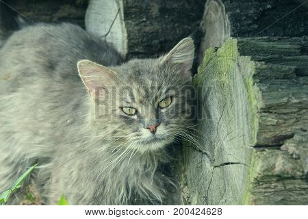 Portrait Of Thick Long Haired Gray Chantilly Tiffany Cat Relaxing In The Garden. Close Up Of Fat Tom