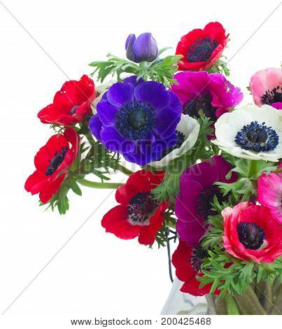 Fresh colorful Anemones blooming flowers bouquet close up isolated on white background