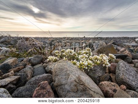 Common Scurvygrass, Cochlearia officinalis, with white flowers, growing on the pebble shore with a view of the sunset over the ocean. The scurvy grass is rich in vitamin C, and were used by sailors as a cure against scurvy. From Jomfruland, an island in K