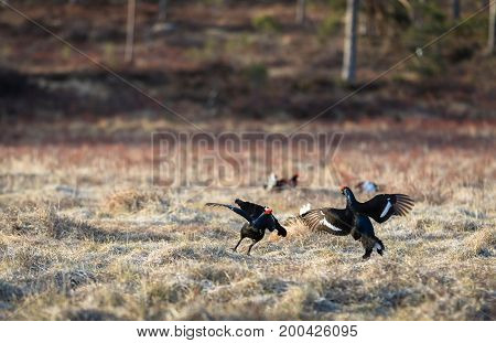 Black Grouse, two cocks fighting at the lek in april, spring in Norway. One other black grouse soft in the background.