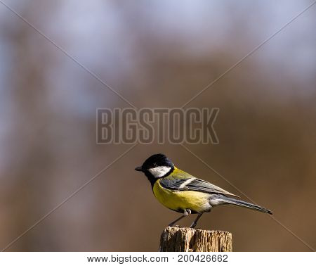 The Great Tit, Parus major, sitting on the top of a pole with soft natural forest background, April in Norway. Copy space on left side and top.