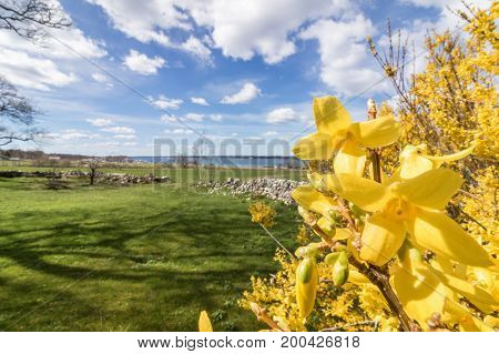 forsythia flowers in front of with green grass and blue sky with white clouds. April, spring in Jomfruland, Norway