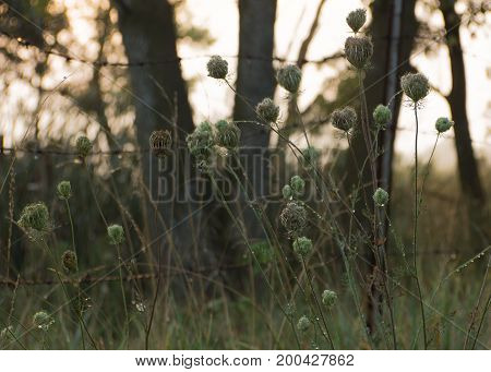 Cluster of Queen Anne's lace with dew drops against bobbed wire fence in rural setting at sunrise
