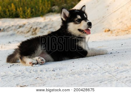 Puppy Alaskan Malamute close-up on sand in summer