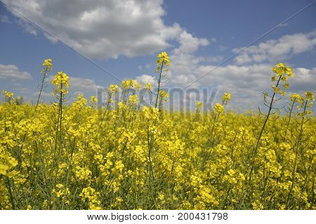 Field of yellow flowering oilseed rape isolated on a cloudy blue sky in springtime (Brassica napus) Blooming canola bright rapeseed plant landscape at spring. Countryside scene. Agricultural concept