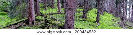 Panorama Of Mossy Forest