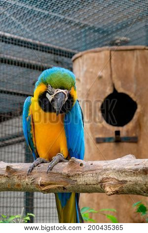 Blue-and-yellow macaw or Blue-and-gold macaw sitting on tree with nest background.
