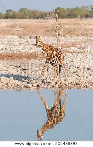 Two Namibian giraffes Giraffa camelopardalis angolensis at a waterhole in Northern Namibia. Their reflections are visible in the water
