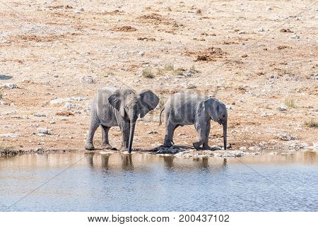 Two elphant calves Loxodonta africana drinking water at a waterhole in Northern Namibia