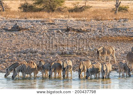 A herd of Burchells Zebras (Equus quagga burchellii) drinking water in a waterhole in Northern Namibia at sunset