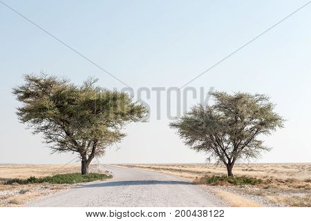 A gravel road passing between two acacia trees in northern Namibia