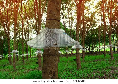 The Trees Wear Mini Skirt ,the Rubber Trees With Rainproof Plastic Sheet