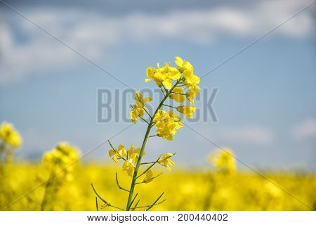Field of yellow flowering oilseed rape isolated on a cloudy blue sky in springtime (Brassica napus), Blooming canola, bright rapeseed plant landscape at spring. Countryside scene. Agricultural concept