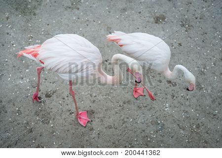 Pink flamingos in the wild. Dating games flamingo. Fighting males