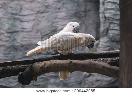 Closeup image of white salmon crested cockatoo birds on wood perch