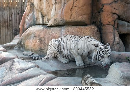 white tiger drinking water in the mountains.