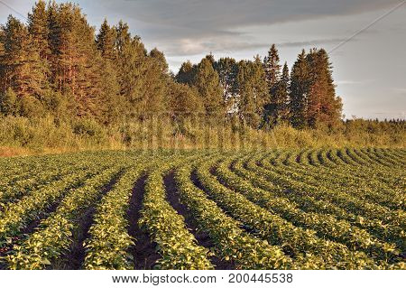 Potato field on a background of the forest before sunset Russia Republic of Karelia.