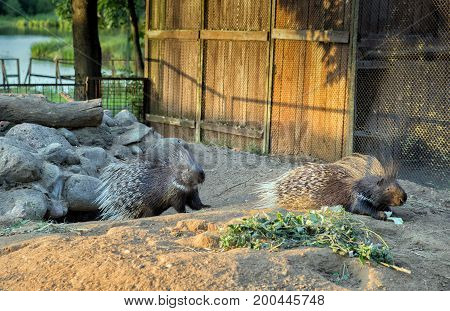 two large porcupine feeding at the zoo.