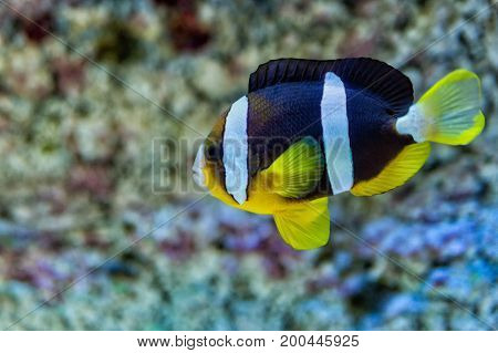 fish clown melanopus in the aquarium on blue background.
