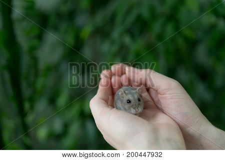 Small grey hamster in the hands of man.