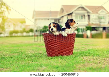 Happy cute young Beagles playing in basket