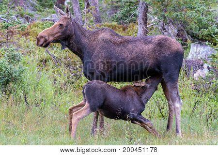 Nursing Calf Moose - Wild Shiras Moose in the Rocky Mountains of Colorado