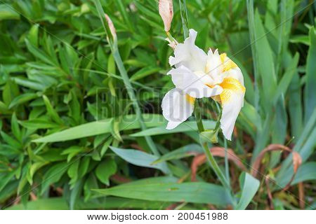 Beautiful white iris blossoms in spring in garden