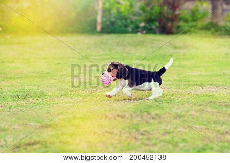 Cute young Beagle playing with ball in garden