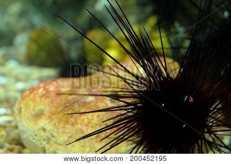 Sea urchin image or sea urchin background