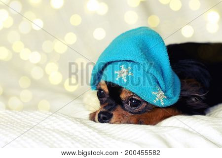 Small chihuahua puppy in blue christmas hat is lying on white blanket blurry light effect