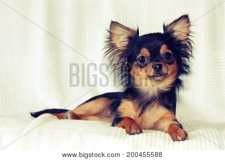 Portrait of cheerful chihuahua puppy lying on bed with white blanket direct look retro toned