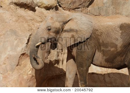 Close-up image of an African Bush Elephant - Loxodonta africana poster