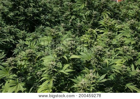 Marijuana Cannabis growing outdoors in full sun. Flower buds beginning to form