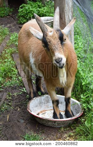 Cute brown goat standing in feeding bowl wanting to be fed
