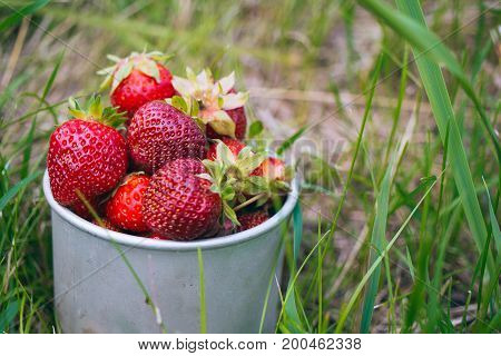 Berries of a strawberry in a metal cup on a green grass in a kitchen garden