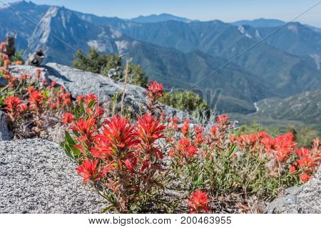 Indian Paintbrush With High Sierras